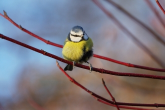 Blue tit by Pete Walkden