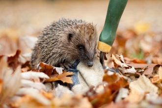 Hedgehog by Tom Marshall