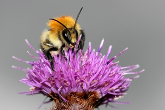 Common carder bee by Wendy Carter