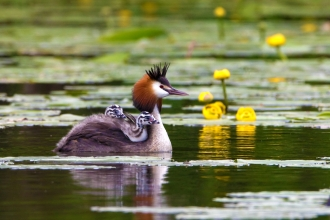 Great crested grebe with chicks on back by Pete Cheshire