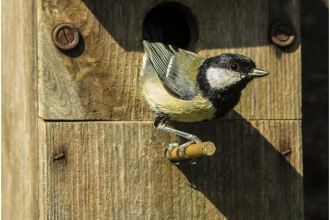 Great tit coming out of a bird box by Nigel Bell