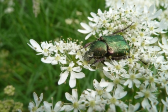 Noble chafer beetle on hogweed by Harry Green