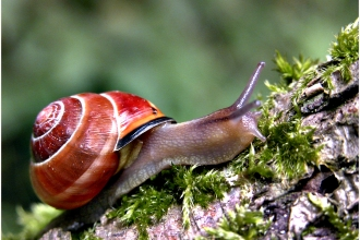 Snail with orange-red shell on tree branch by Barry Green