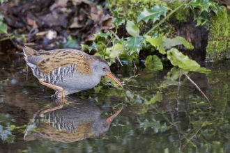Water rail skulking through shallow by Stephen Baird-Parker