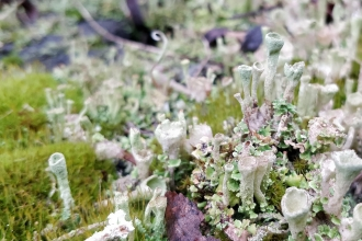 Cup-shaped lichen amongst moss by Eleanor Reast