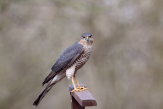 Sparrowhawk looking at the camera