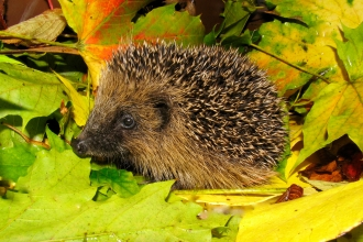 Hedgehog amongst leaves by Rosemary Winnall
