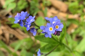 Blue flowers of forget-me-nots by Anne Williams