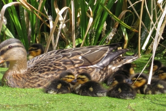 Mallard and her ducklings on a pond by Jean Young