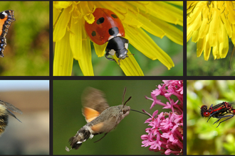 Photos of small tortoishell, 7 spot ladybird, marmalade hoverfly, common carder bee, hummingbird hawk-moth, large red damselfly
