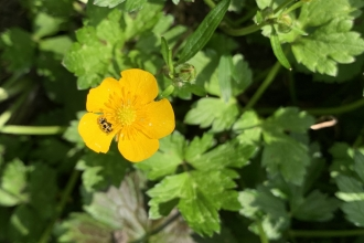 Buttercup flower with ladybird nestled in it by Anne Williams