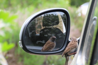 Dunnock looking at his reflection in a car mirror by Rosemary Winnall