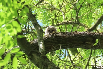 Juvenile tawny owl peering over branch of tree (by Rosemary Winnall)