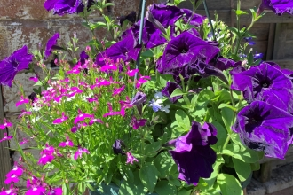 Hanging basket with pink and purple flowers by Anne Williams