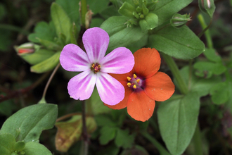 pink flower of herb Robert and red flower of scarlet pimpernel by Rosemary Winnall