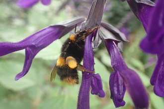 Buff-tailed bumblebee taking nectar from a long tube-like purple flower by Brett Westwood