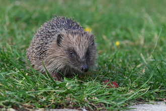 Hedgehog on a lawn by Wendy Carter