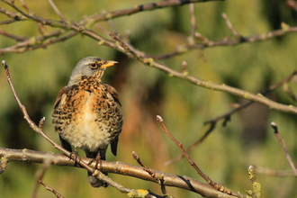 Fieldfare in a tree by Wendy Carter
