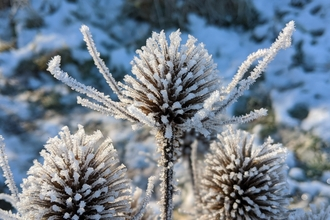 Teasels covered in hoar frost by Lucy Rix