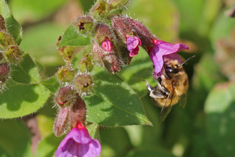 Hairy-footed flower bee feeding from pink lungwort flower by Wendy Carter