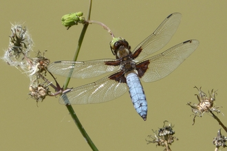 Male (blue) broad-bodied chaser perching on a thin stem by Gail Hampshire
