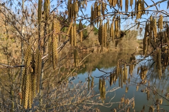 Catkins on a tree with a lake in the background by David Corns