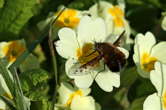 Dotted bee-fly feeding from a yellow primrose flower by Wendy Carter