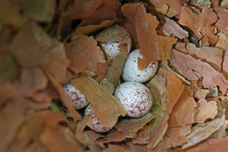 White eggs speckled with brown sitting amongst brown woody material in a nest by Stephanie Franklin