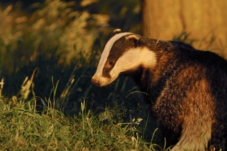 Badger by Andrew Parkinson/2020VISION