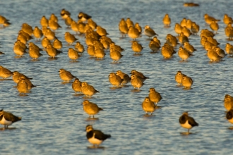 Golden plover by Andrew Parkinson/2020VISION