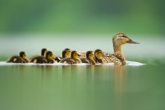 Mallard family by Andrew Parkinson/2020VISION