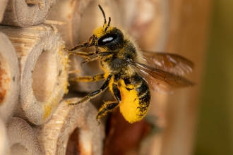 Leafcutter bee covered in pollen at a bee hotel by Jon Hawkins SurreyHillsPhotography