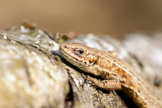 Common lizard resting on a log by Tom Marshall