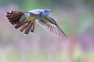 Cuckoo in flight by Jon Hawkins SurreyHillsPhotography
