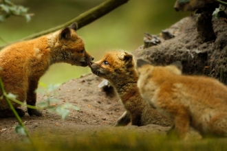 Fox cubs by Jon Hawkins SurreyHillsPhotography