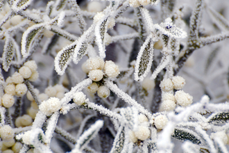 Mistletoe covered in frost by Zsuzsanna Bird