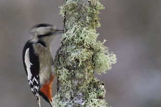 Great spotted woodpecker by Peter Cairns/2020VISION