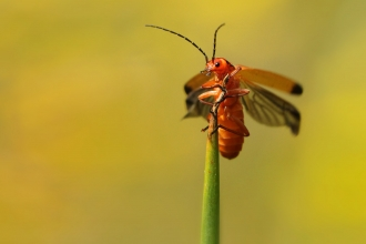 Orange/red soldier beetle at the top of a grass stem with wings open ready to fly by Jon Hawkins/SurreyHillsPhotography