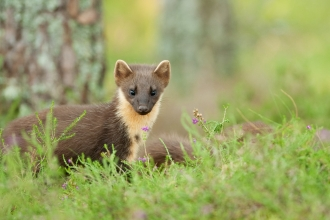 Pine marten in woodland by Terry Whittaker/2020VISION