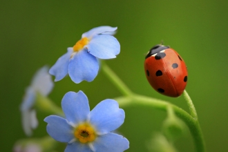 7 spot ladybird on forget-me-not by Jon Hawkins SurreyHillsPhotography