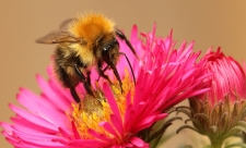 Common carder bee by Rosemary Morris