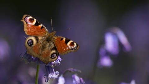 Peacock butterfly on bluebell by Nick Martin