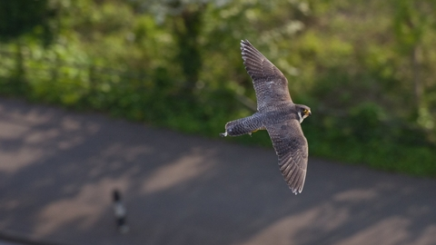 Peregrine falcon flying in an urban street by Bertie Gregory/2020VISION