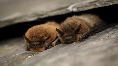 Two common pipistrelle bats between roof tiles by Tom Marshall