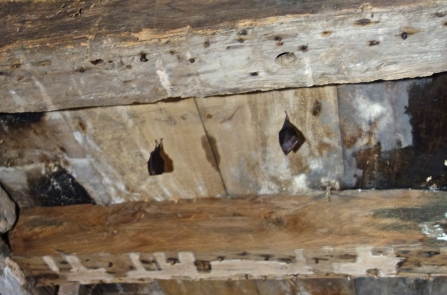 Lesser horseshoe bats roosting in Papermill Cottage by Dom Cragg