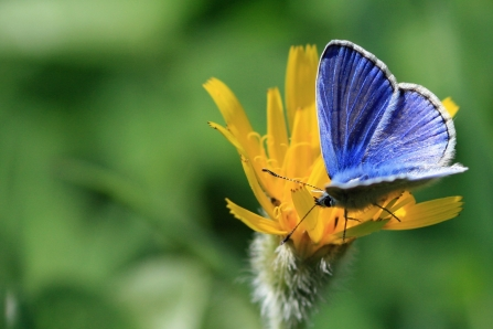 Common blue butterfly by Vicky Nall