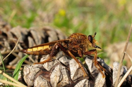 Hornet robberfly by Rosemary Winnall
