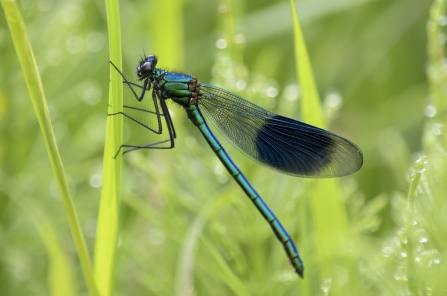 Banded demoiselle by Philip Moore