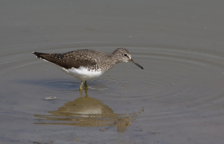 Green sandpiper wading through shallow water by Pete Walkden