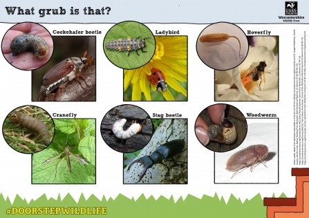 What grub is that? spotter sheet with pics of larvae and adults
